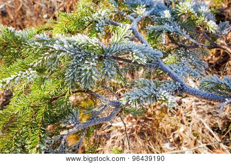 Frozen spruce branch