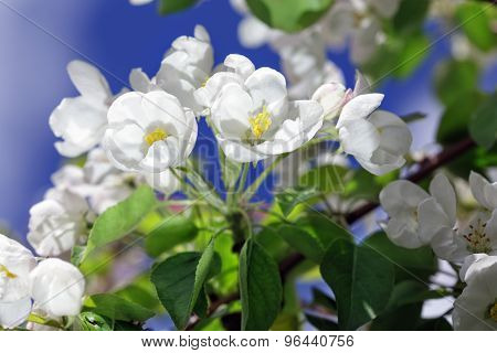 The Apple Tree Blossoms