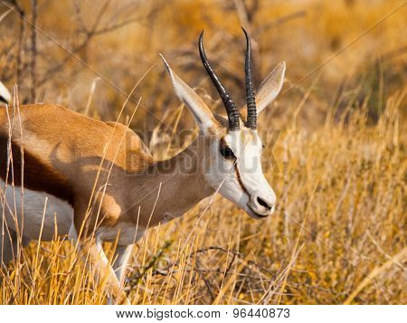 Male Impala walking in the savanna