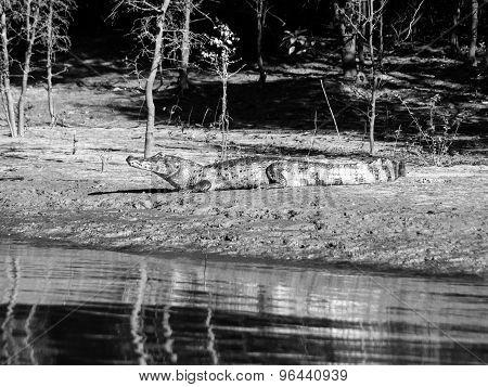 Alligator lying on a river bank