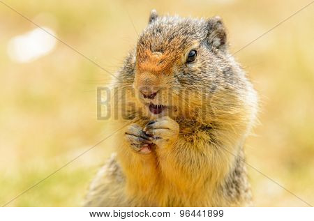 Feeding ground squirrel at the Lightning Lake in Manning Park, British Columbia, Canada.