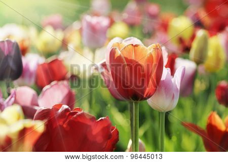 Multicolor Tulips In The Morning Sun