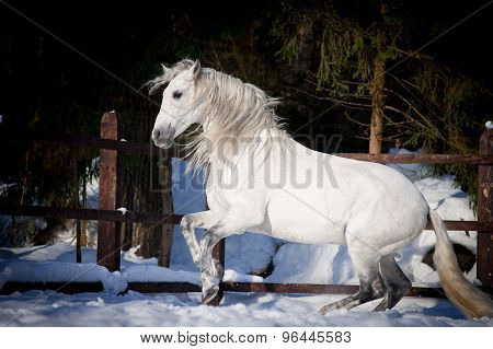 Beautiful Pre Stallion With Long Mane Plays In Winter Paddock