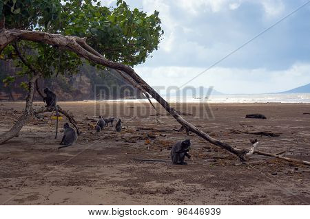 Flock Of Rare Black Monkey