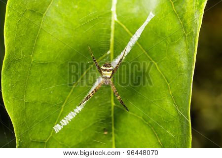Striped Argiope Spider