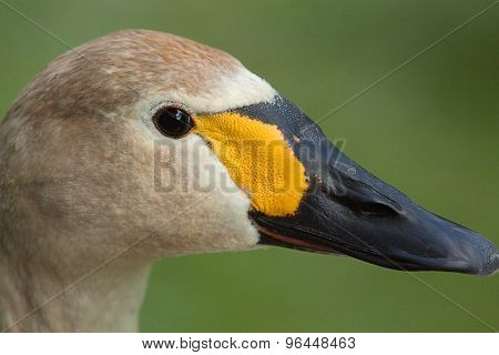 juvenile Bewick's swan