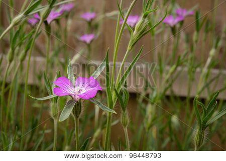 Corncockle Wildflower