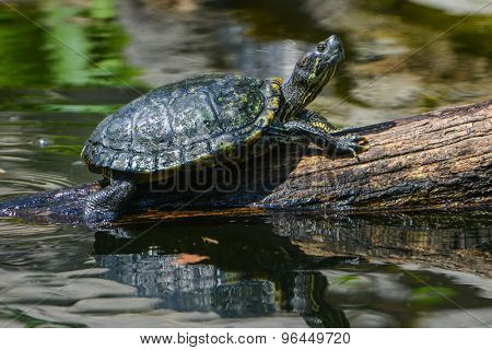 Water turtle marching on a log