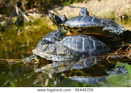Water turtles in funny bunch