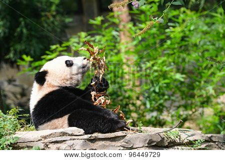 Hungry baby panda in forest