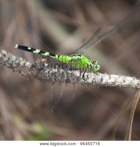 Sitting Dragonfly