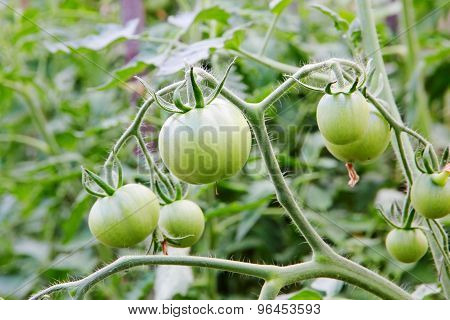 Green Unripe Tomatoes On Branch.
