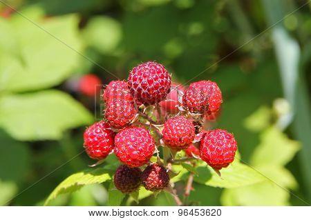 Ripe Raspberry Bush.