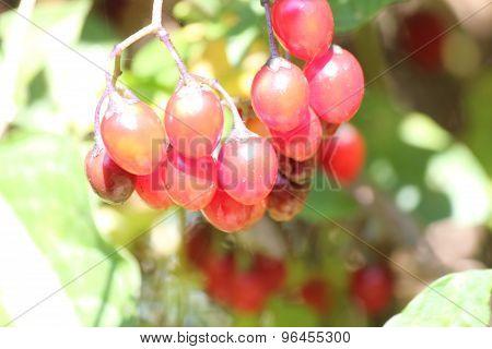 Nightshade Solanum dulcamara