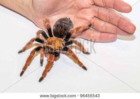 Fireleg Tarantula