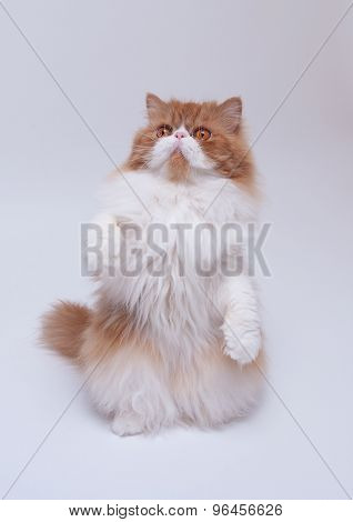 Red Big Persian Cat Costs On Hinder Legs