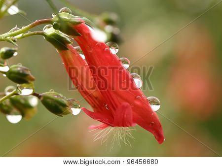 Water droplets on red Penstemon flower - macro