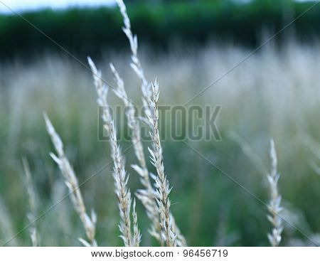 Silvery tall grass.