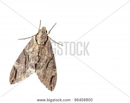 The Geometer Moth Trichopteryx Carpinata Isolated On White Background