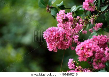 Pink Crepe Myrtle Flowers Closeup