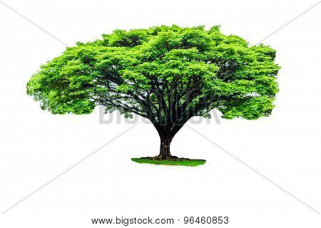 Rain Tree Isolated  On White Back Ground
