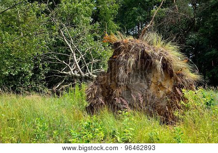 Uprooted tree lying on grass.