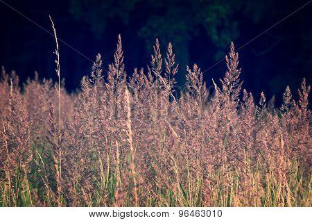 Golden summer grass.