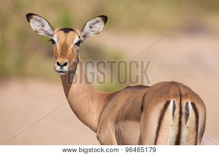Impala Doe Looking For Possible Danger Portrait