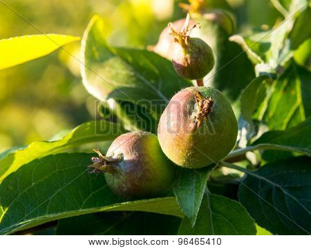 Apples ripen