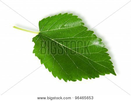 Single Green Leaf Mulberry