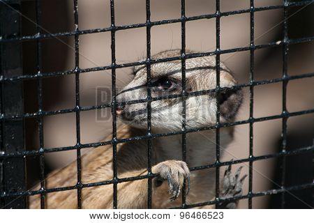 Suricate In Captivity