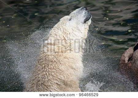 Polar Bear Shakes His Head