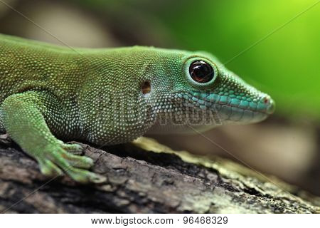 Koch's giant day gecko (Phelsuma madagascariensis kochi), also known as the Madagascar day gecko. Wildlife animal.