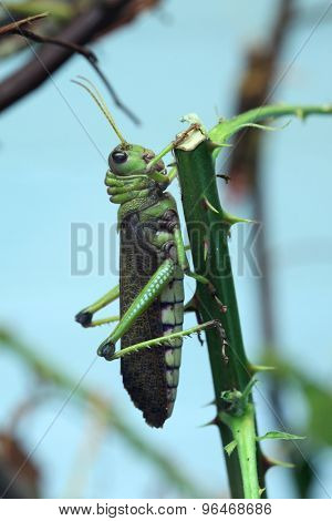 Giant grasshopper (Tropidacris collaris). Wild life animal.