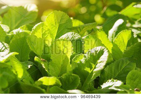 Primrose Leaves, Backlit
