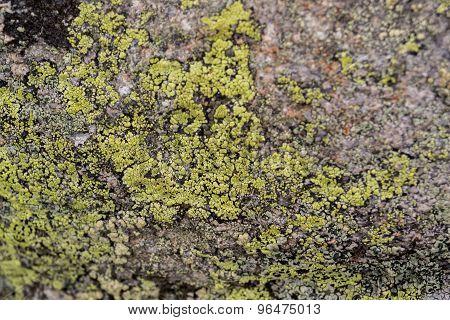 Lichen On Moss Background