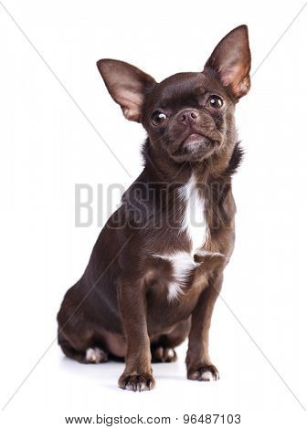 Chihuahua chocolate color poses on a white background