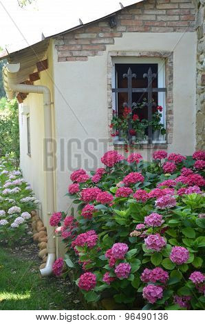 Pink And White Hydrangea Flowers Massif