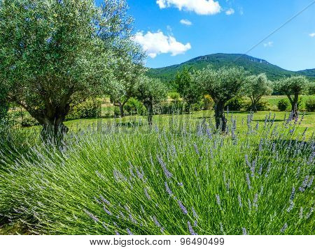 Olive Tree On Lawn With Lavender