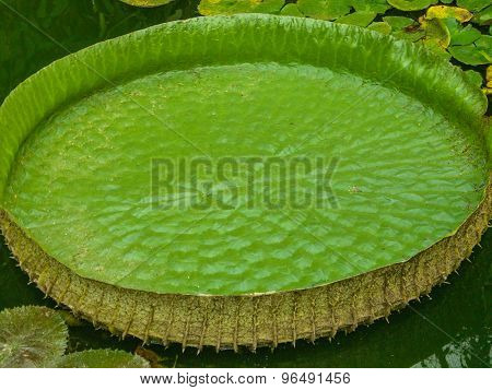 Giant Green Waterlily On Water In Crocodiles Farm.