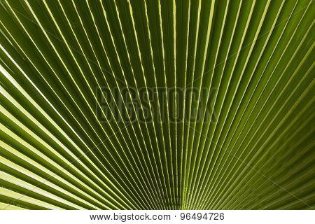 Ribbed leaf  of  Washingtonia palm