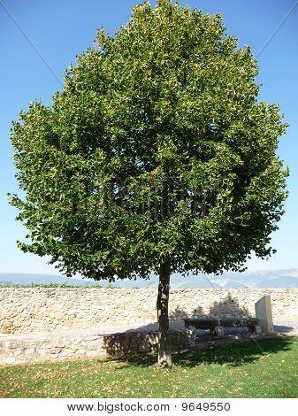 Wonderful tree, in Frias, Burgos, Spain