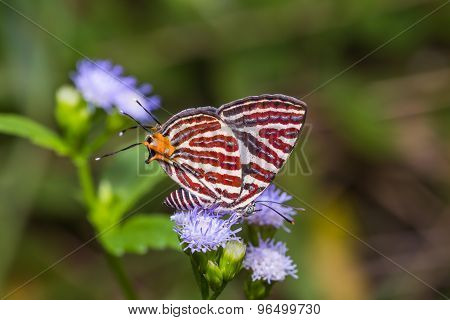 Long-banded Silverline Butterfly