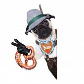 stock photo of pug  - pug dog dressed up as bavarianisolated on white background behind a blank empty banner or placard holding a pretzel - JPG