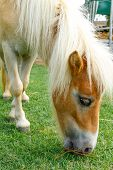 image of horses eating  - horse eat green grass in pasture photo stock - JPG