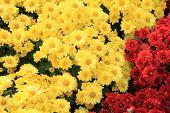 foto of chrysanthemum  - Yellow Chrysanthemum flower in garden tropical country - JPG