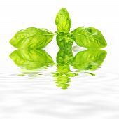 foto of basil leaves  - Basil fresh leaves isolated on a white background - JPG