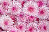 stock photo of chrysanthemum  - closeup of Chrysanthemum banch in flower market - JPG