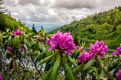 image of smoky mountain  - Brilliant purple rhododendron near the road that runs through Great Smoky Mountain National Park - JPG