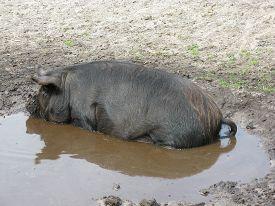 pic of pot-bellied  - A dark brown pot bellied pig in a mud pool - JPG